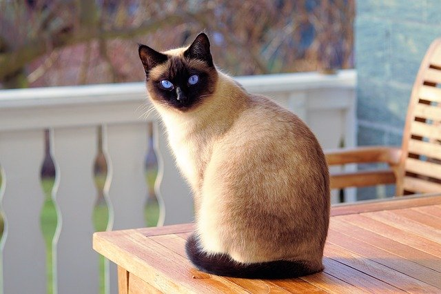 top-10-cat-breeds