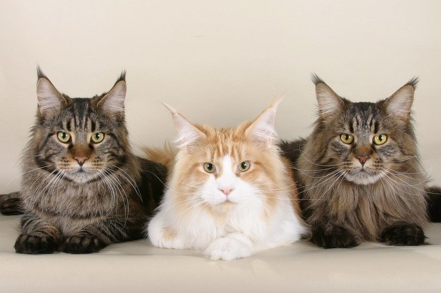 the-top-10-cat-breeds