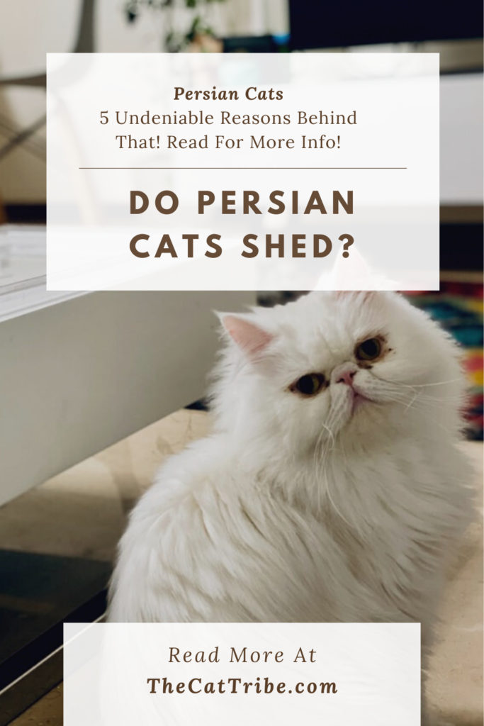 do-persian-cats-shed