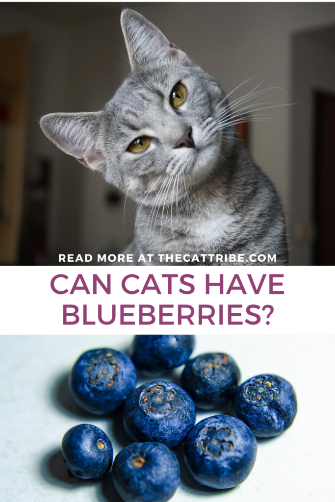 can-cats-have-blueberries