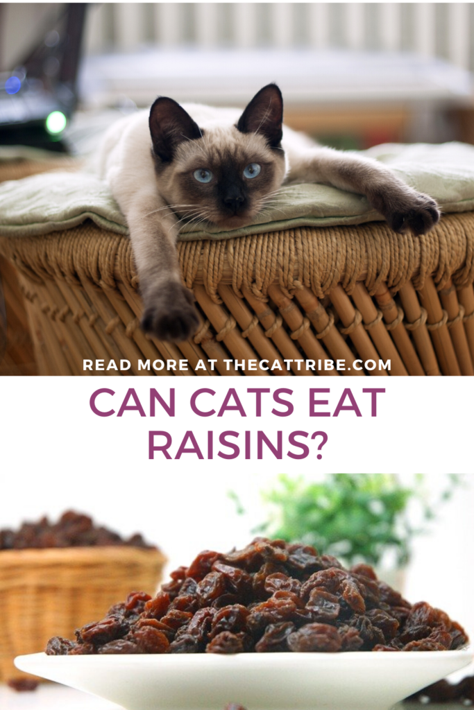 can-cats-eat-raisins