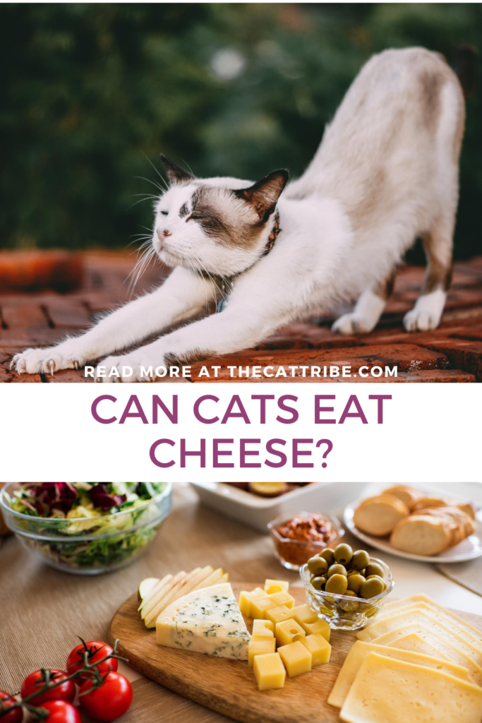 can-cats-eat-cheese