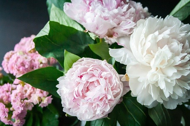 are-peonies-poisonous-to-cats