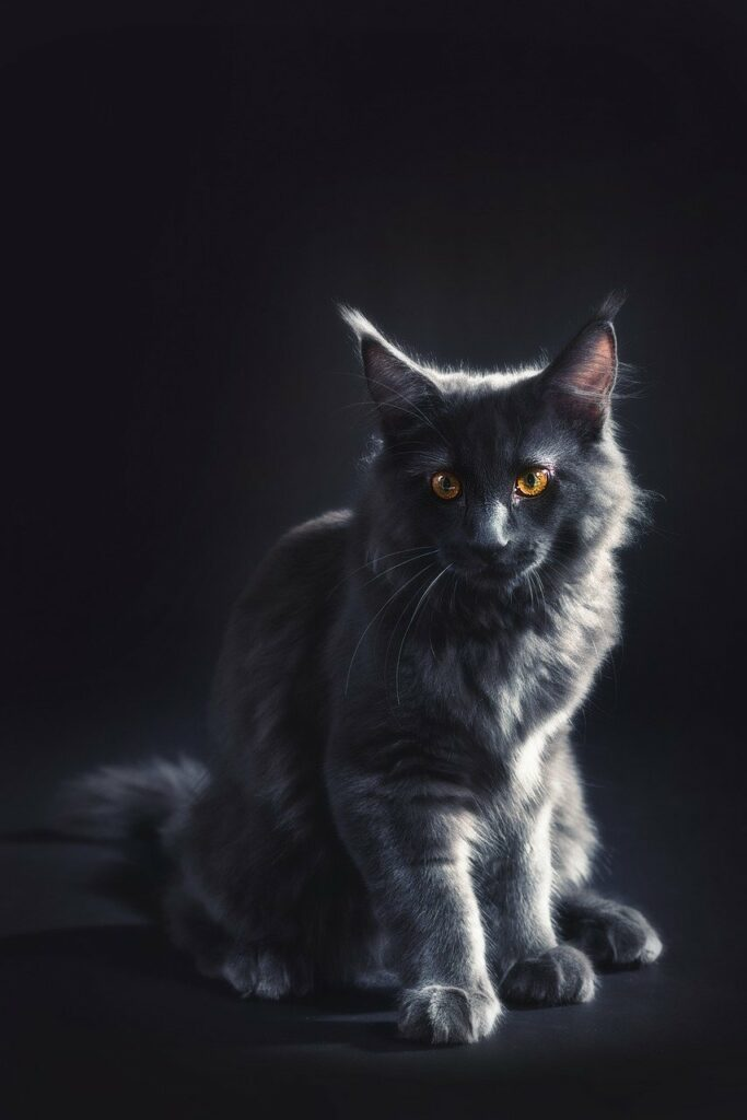maine-coon-cat-information