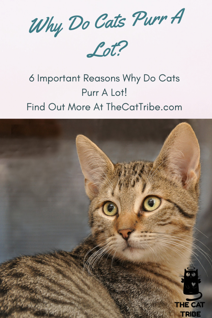 why-do-cats-purr-a-lot
